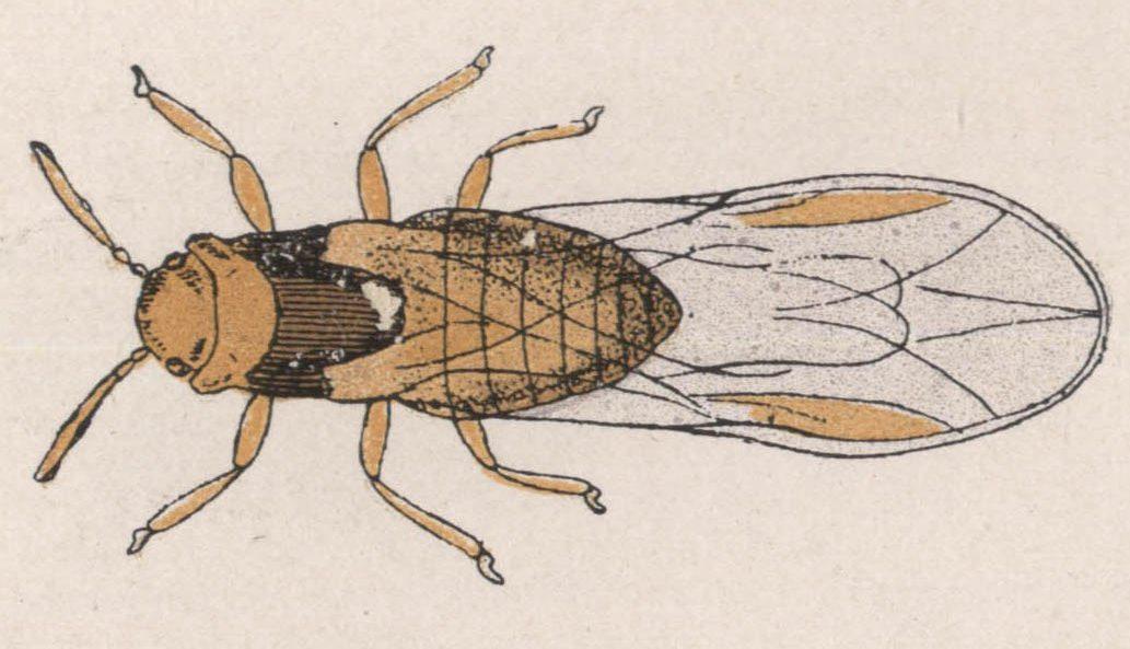 30-phylloxera-femelle-ailee