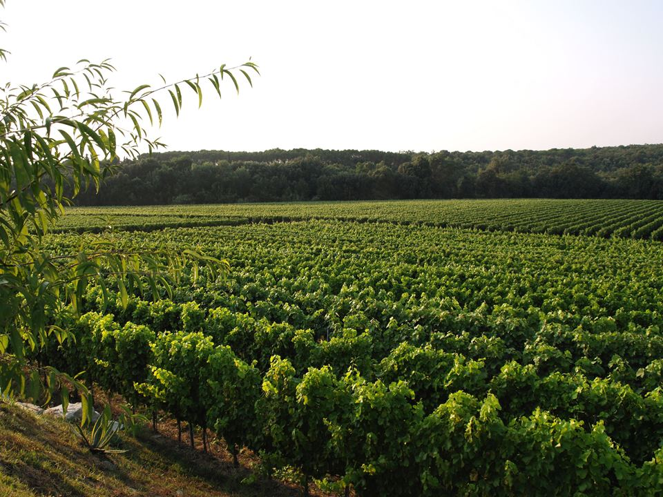 Campo Giardino, the collection-vineyard that originates Jassarte