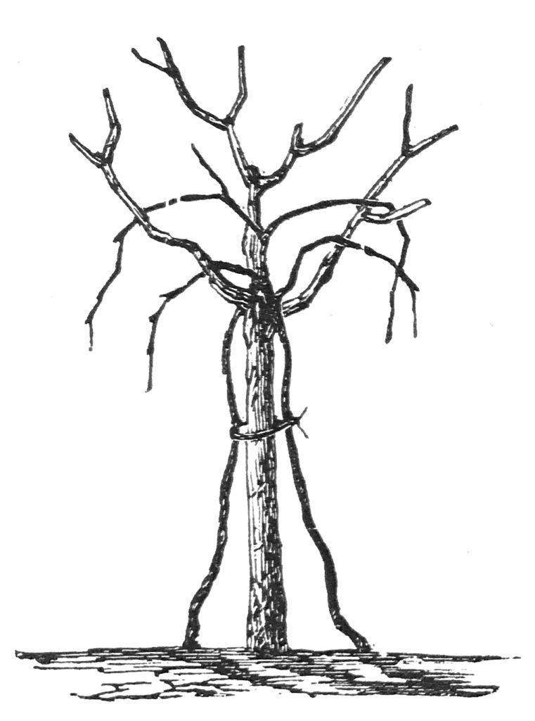 arbustum italicum