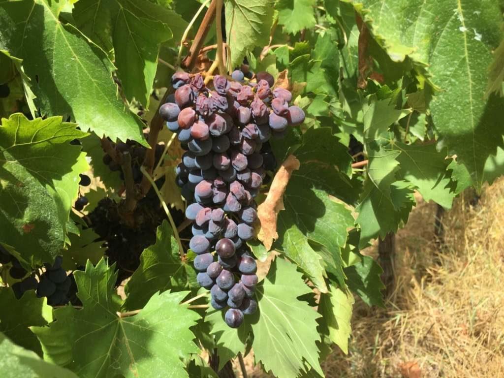 foto da Edagricole: grappolo di Sangiovese con acini scottati e disidratati