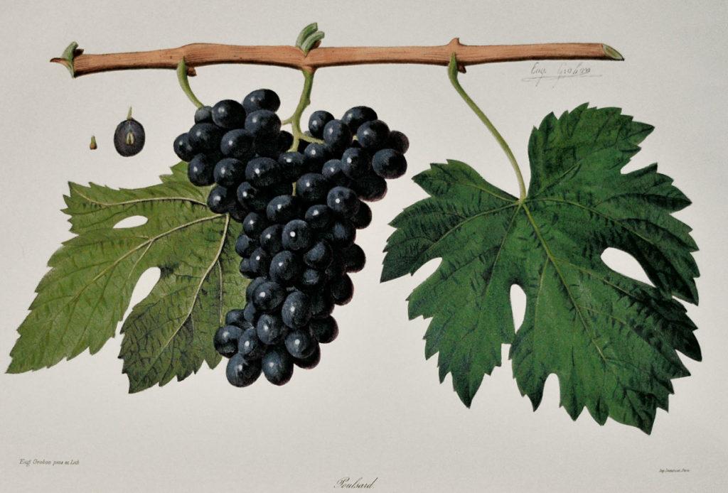 Dal'Ampelografia di Victor Rendu, la varietà Poulsard