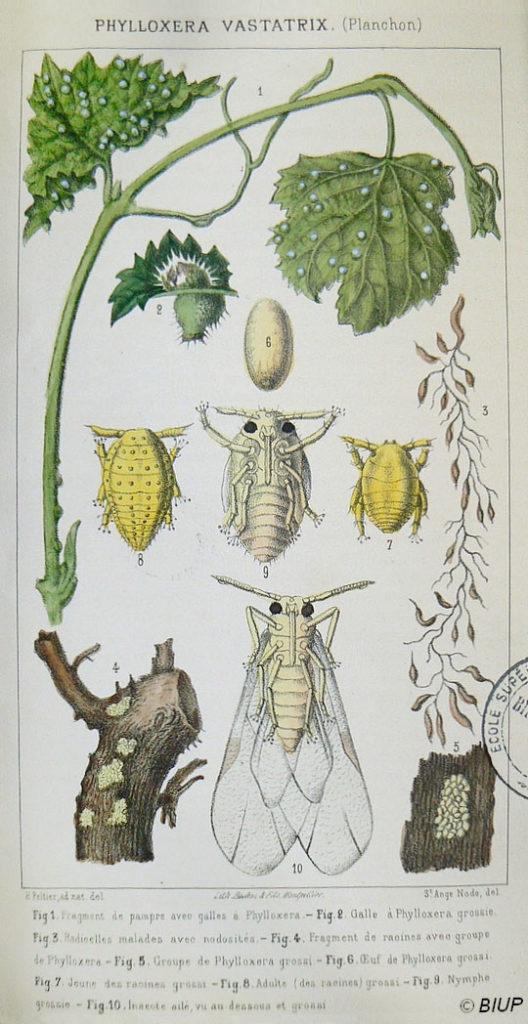 1165_vignette_b-16305-phylloxera