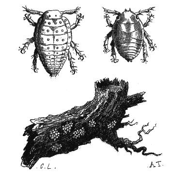 Phylloxra-racine