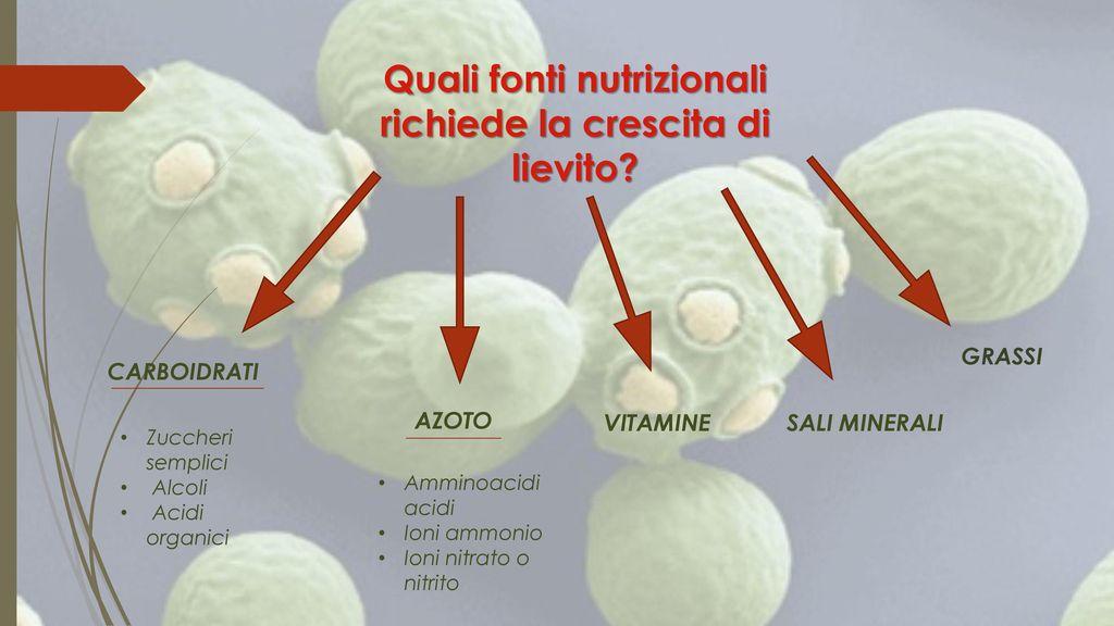 GRASSI. CARBOIDRATI. La biochimica e il metabolismo dei lieviti sono sostanzialmente simili a quella umana. . In una forma semplificata ,la nutrizione umana è basata su carboidrati (fonte di carbonio), proteine (fonte di azoto), grassi, vitamine e sali minerali. La nutrizione dei lievito richiede anche fonti di carbonio e di azoto, vitamine e minerali. Non è quindi sorprendente che molti alimenti umani possano svolgere un ruolo di supporto eccellente nella crescita del lievito. Le fonti di carbonio preferite per l'assimilazione nei lieviti sono gli zuccheri semplici, e in misura minore gli zuccheri esistenti negli alcoli, o acidi organici. Relativamente pochi i lieviti possono utilizzare i carboidrati complessi come l amido. Allo stesso modo la maggior parte dei lieviti non ha praticamente alcuna attività proteolitica e non sono quindi in grado di crescere su proteine come fonte di azoto. Un eccezione a questo può essere la degradazione della caseina nel latte da parte di lieviti Rossi e la conseguente alterazione dei prodotti lattiero-caseari .Fonti di azoto preferite dai lieviti sono piccole molecole, in particolare amminoacidi acidi, ioni ammonio, nitrato o nitrito per alcune specie di lievito. Alcuni lieviti mostrano attività lipolitica, per esempio Yarrowia lipolytica, e sono in grado di utilizzare i grassi (Barth e Gaillardin, 1996), ma anche questi sono lenti rispetto alla crescita su glucosio. AZOTO. VITAMINE. SALI MINERALI. Zuccheri semplici. Alcoli. Acidi organici. Amminoacidi acidi. Ioni ammonio. Ioni nitrato o nitrito.