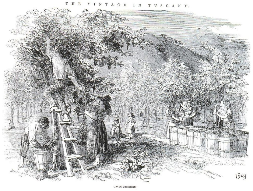 Elm_and_the_vine 1849