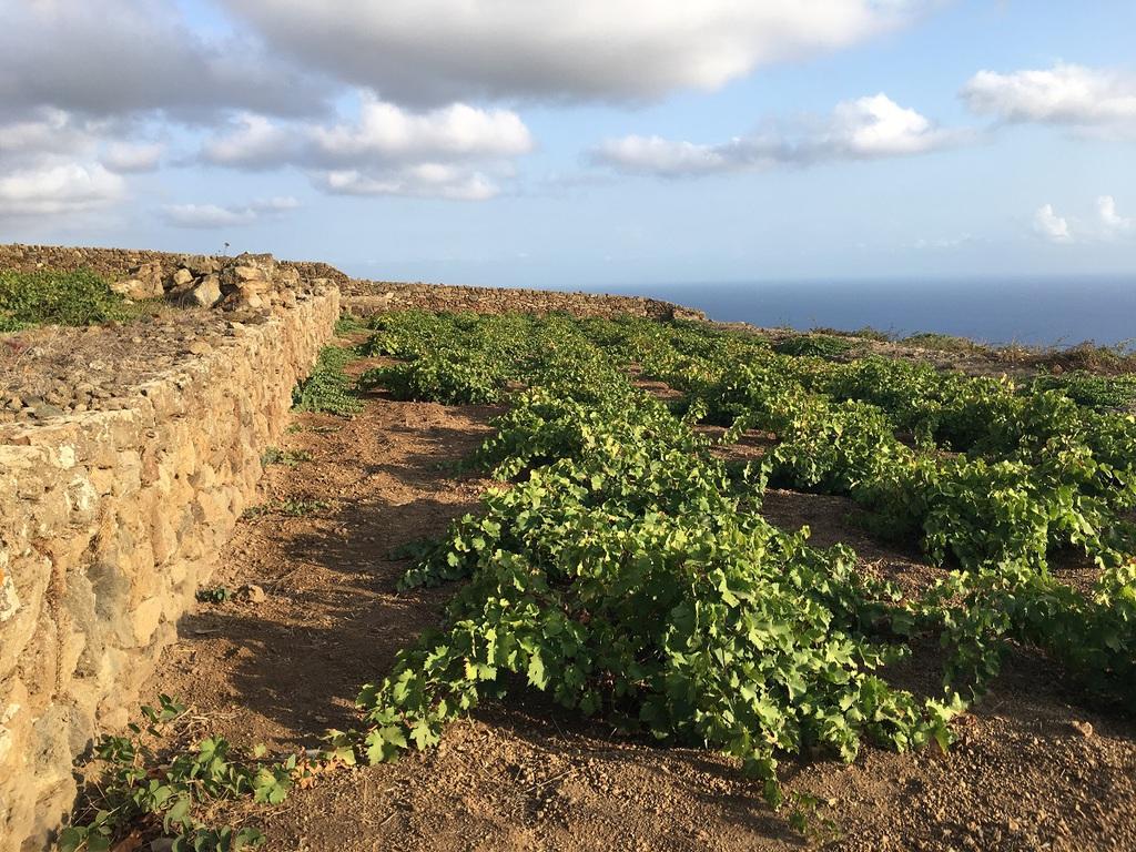 La-Vendemmia-a-Pantelleria-viticoltura-eroica-ma-appassionata da la Gazzetta del Gusto
