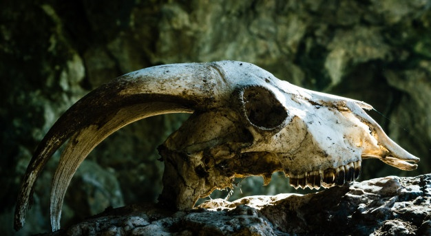 cranio-di-capra-secco-con-grandi-corna-su-una-pietra-con-i-raggi-del-sole-che-gli-battevano-sulla-fronte_72928-143